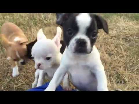 "Royal Frenchel Bulldog ""Mitch"""