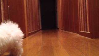 まだ外に出れない時期は、廊下で運動をさせていました。 まん丸の体に足...