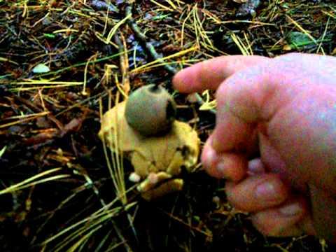 Geastrum saccata with spore release