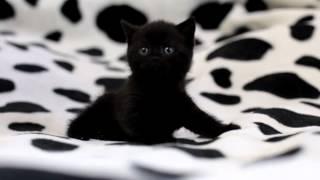 Такори, британская черная кошка