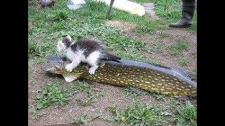 Кот обормот отнимает рыбу | The cat takes away the fish