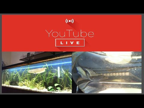 Live Aquarium Stream: 2 meter arowana tank and betta fish bowl