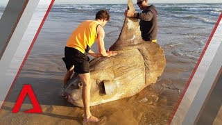 Reel-ly unusual: What we know about the sunfish that washed up in Australia