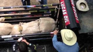 PBR begins the scene HOW BULLS ARE PUT IN CHUTE