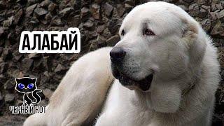 Алабай / Интересные факты о собаках