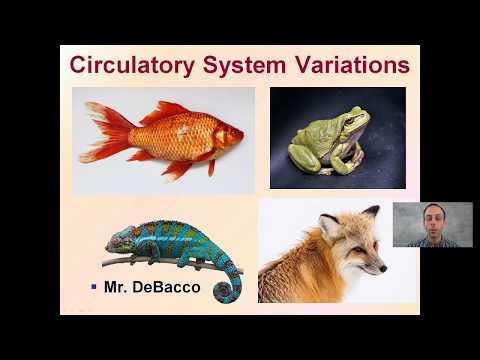 Circulatory System Variations