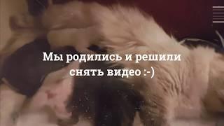 Сибирские котята питомника Amur Tiger г. Москва