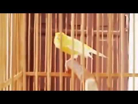 Download Lagu SUARA KICAU kenari betina joss untuk terapi