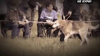 Русская гончая- одна из не многих пород охотничьих собак.