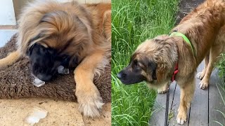 VERY LOVELY LEONBERGER DOGS