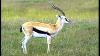 Die Gazelle