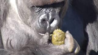 千葉市動物公園でウンチを食べるゴリラを目撃。ゴリラにとってはおいし...