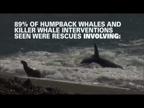 Are humpback whale the superheroes of the sea?