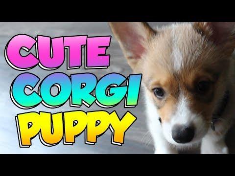 Bringing Home Trunks:  Pembroke Welsh Corgi Puppy