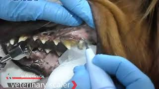 How to use a ultrasonic scaler to clean teeth for dogs
