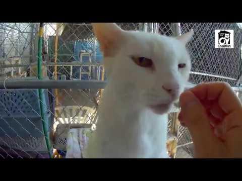 Snowball Jack | White Domestic Short Hair Cat