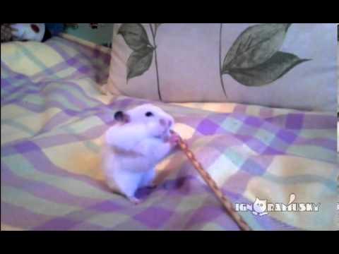 Hamster und Salzstange