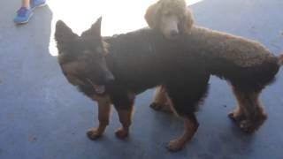 German Shepherd And Standard Poodle Puppies Playing