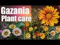 gazania plant care
