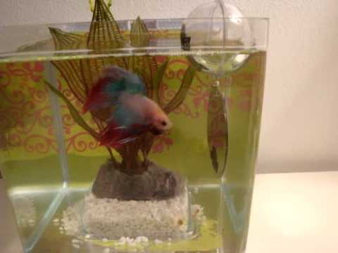 My betta fish interacting with his betta exercise mirror for Betta fish floating