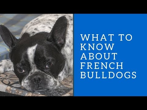 What to Know about French Bulldogs
