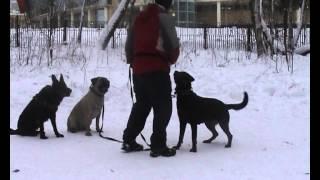 Дрессировка собак ОКД комплекс Занятия с группой