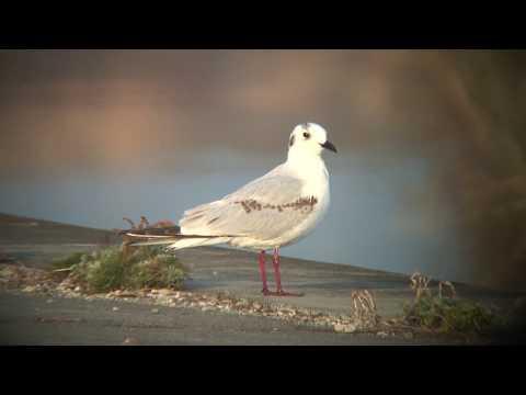 ズグロカモメ(2)冬鳥(習志野市と与那国町) - Saunders's