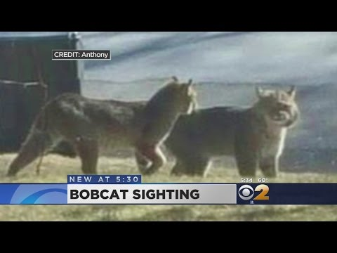 Bobcats In Westchester