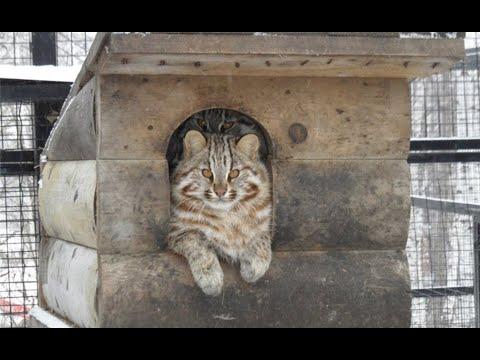 Вопрос: Действительно ли домашний кот ленивее домашней кошки, почему?