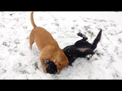 Flat Coated and Labrador - CRAZY SNOWDOGS