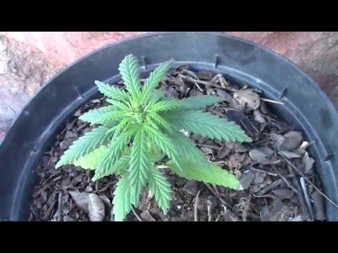 Como cultivar marihuana en invierno.