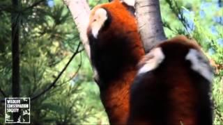 Filhotes de panda vermelho chegam ao zoo de Nova York - Leitura Dinâmica 08/10/13