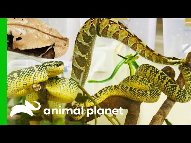 150 Venomous Snakes Rescued From A Private Home | The Zoo