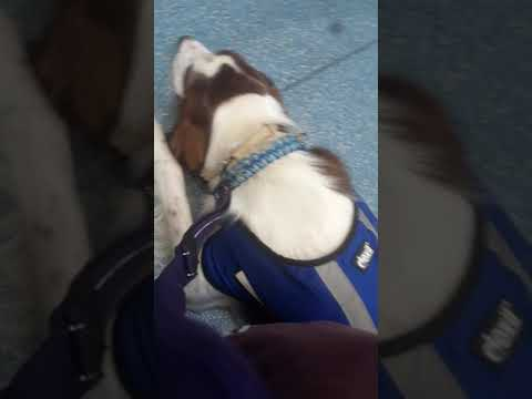 Irish Red and White Setter in service dog training