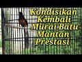 Mengkondisikan Murai Batu Rusak Ex Mantan Prestasi  Mp3 - Mp4 Download