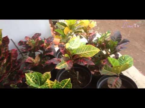 tanaman-hias-puring-lokal-dan-interlokal---ngaliyan,-semarang