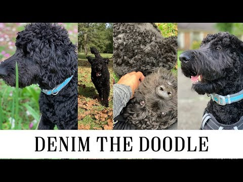 Goldendoodle Life Update: Denim the Doodle