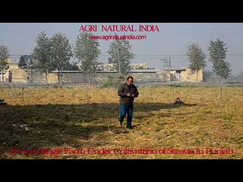 Stevia Farm of Agri Natural India Under Cultivation in Punjab