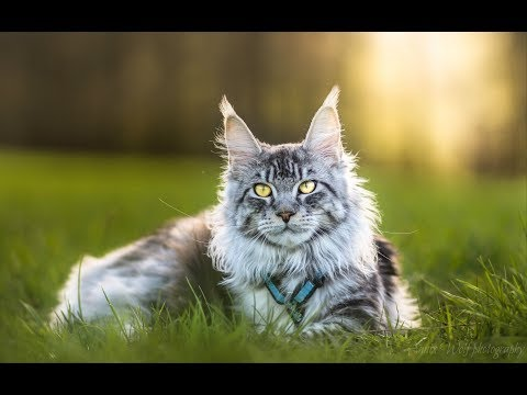 Living with maine coon cat
