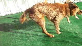 Break Dancing Dog: Coco ; Golden Retriever Small Dog: Jinhee : Jind...