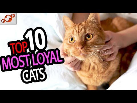 Most Loyal Cats  TOP 10 Most Loyal Cat Breeds In The World!