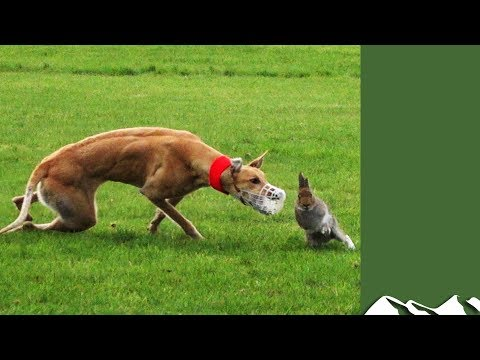 How Coursing Helps Hares