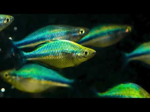 Live Fish Room Tour And Q&A Featuring Betta Breeding, Gary Lange Rainbowfish, Plecos, And More!