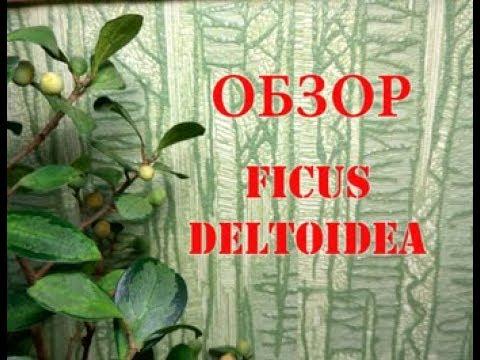 Обзор ФИКУСА Дельтовидного (Ficus deltoidea). Комнатное цветоводство