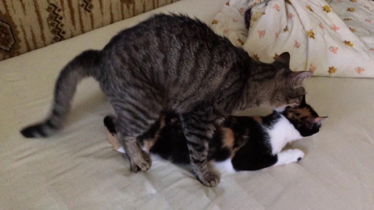 Merevedés kasztrált macska. Akinek vastagabb a pénisz