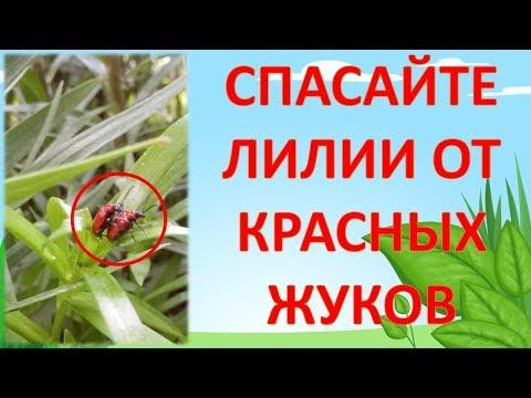 СРОЧНО!!! СПАСАЙТЕ ЛИЛИИ ОТ КРАСНЫХ ЖУКОВ. Как выращивать лилии. Выращивание лилии. Жуки на лилиях.
