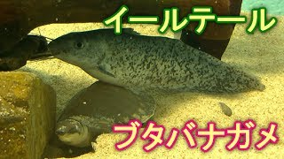 【魚】ブタバナガメ&イールテールキャットフィッシュ(名古屋港水族館)