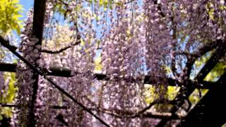 群馬県 太田市 反町薬師 - 藤の波 - 2013年 4月下旬