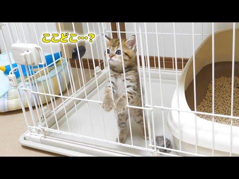 生後2ヶ月の子猫が初めてうちにやってきた時の様子!
