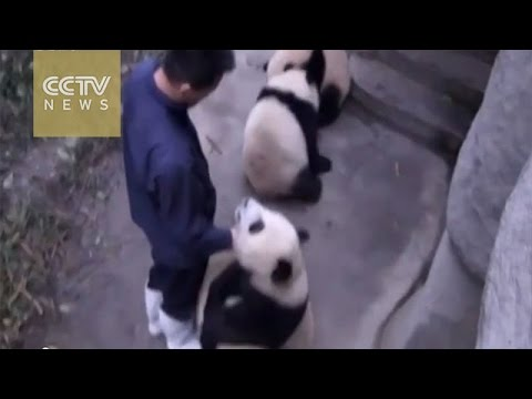 Cute alert! Four baby pandas playing with zookeeper